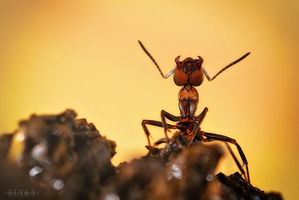 Sun Ant by MissFlykt