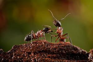 The Pedicure Ant by MissFlykt