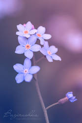 Forget-Me-Not by Bagirushka
