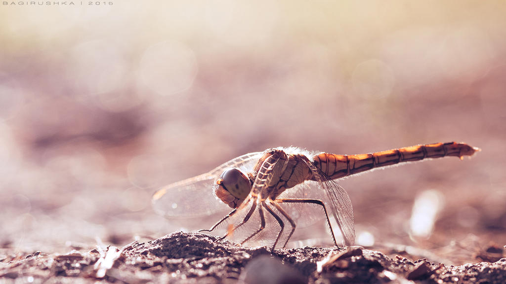 Dragonfly by Bagirushka