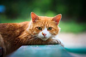ginger cat by Bagirushka