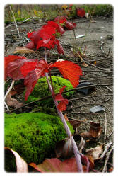 red leafs of blackberry by harley-daniels