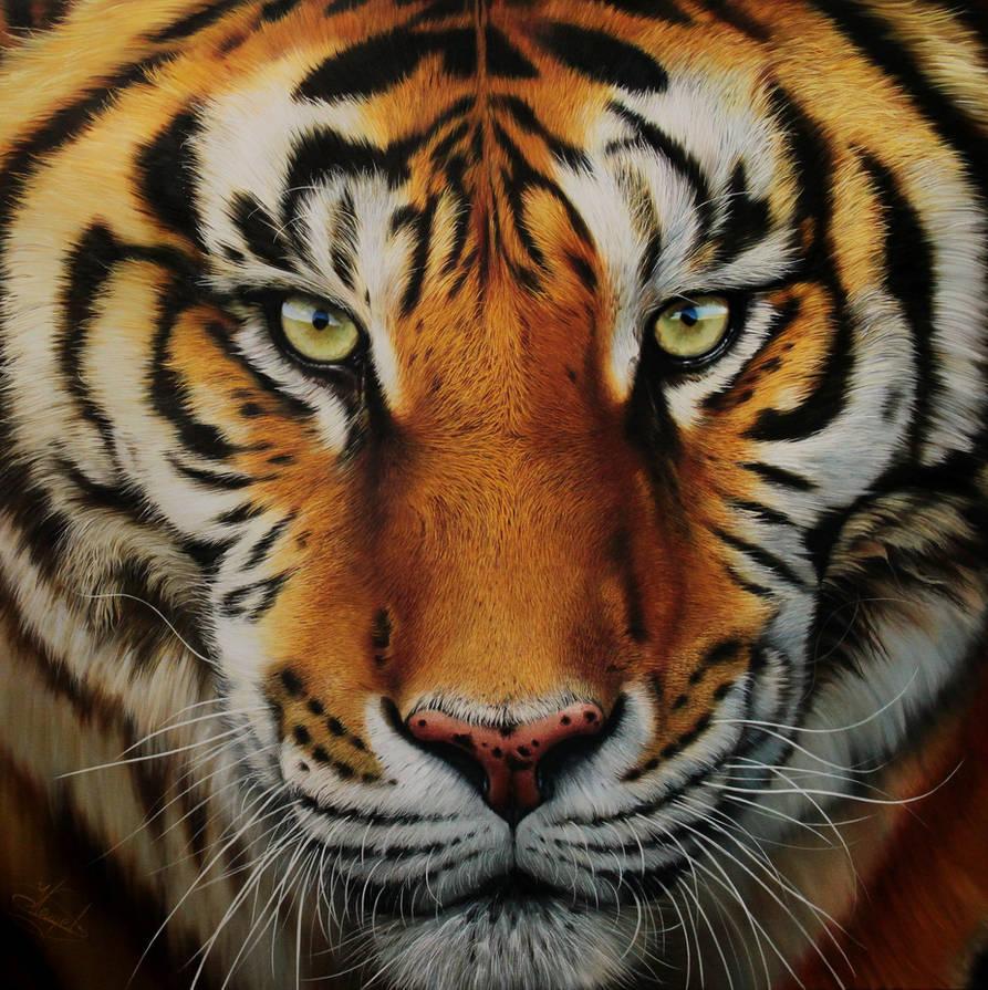 Tiger by Raipun