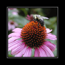 Bee and Coneflower, Maryland