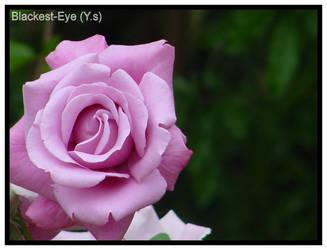 Rose by blackest-eye