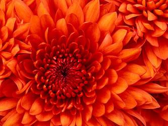 Chrysanthemum by EdwardCullenFanGirll