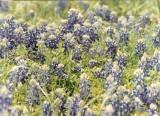 Blue Bonnets by EdwardCullenFanGirll