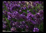 Lavender by deaOriantin