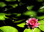 Lotus by mnjul