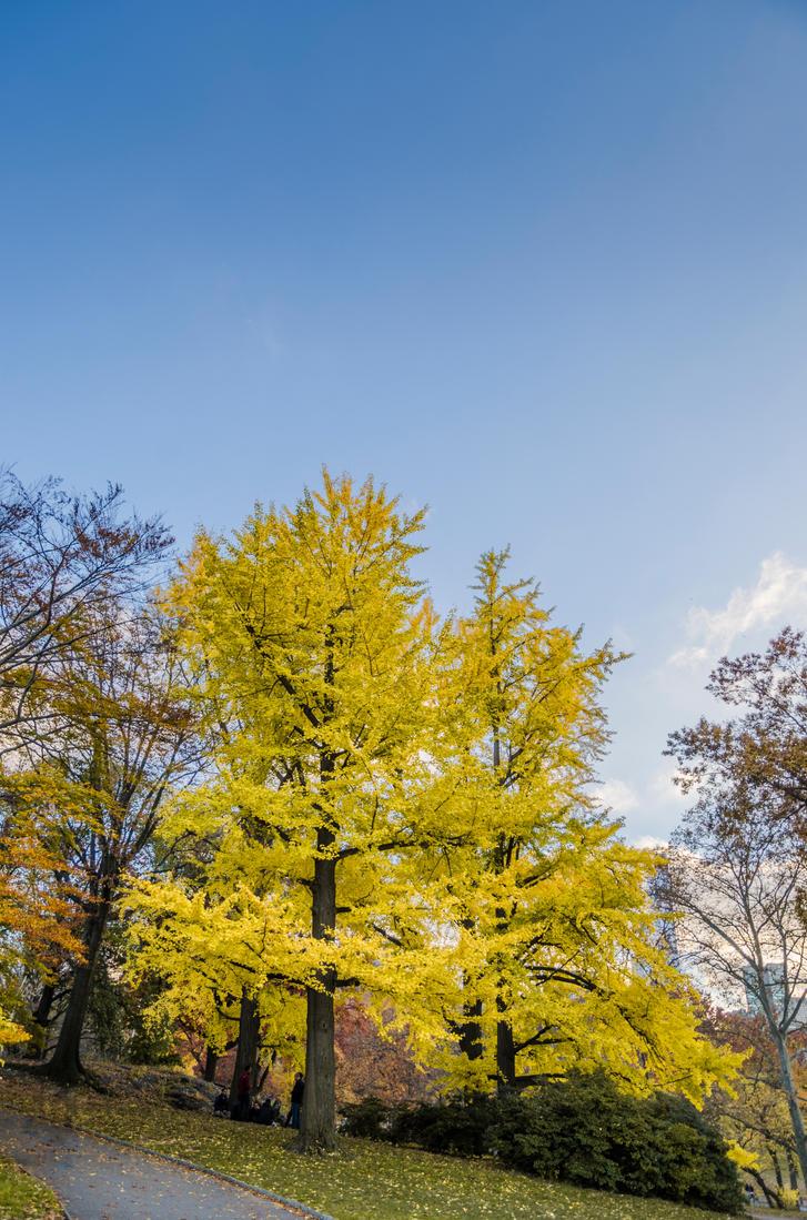 Ginkgo Tree by mnjul