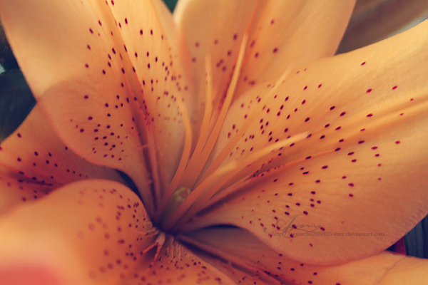 Orange Lilliom_by_number23_amy