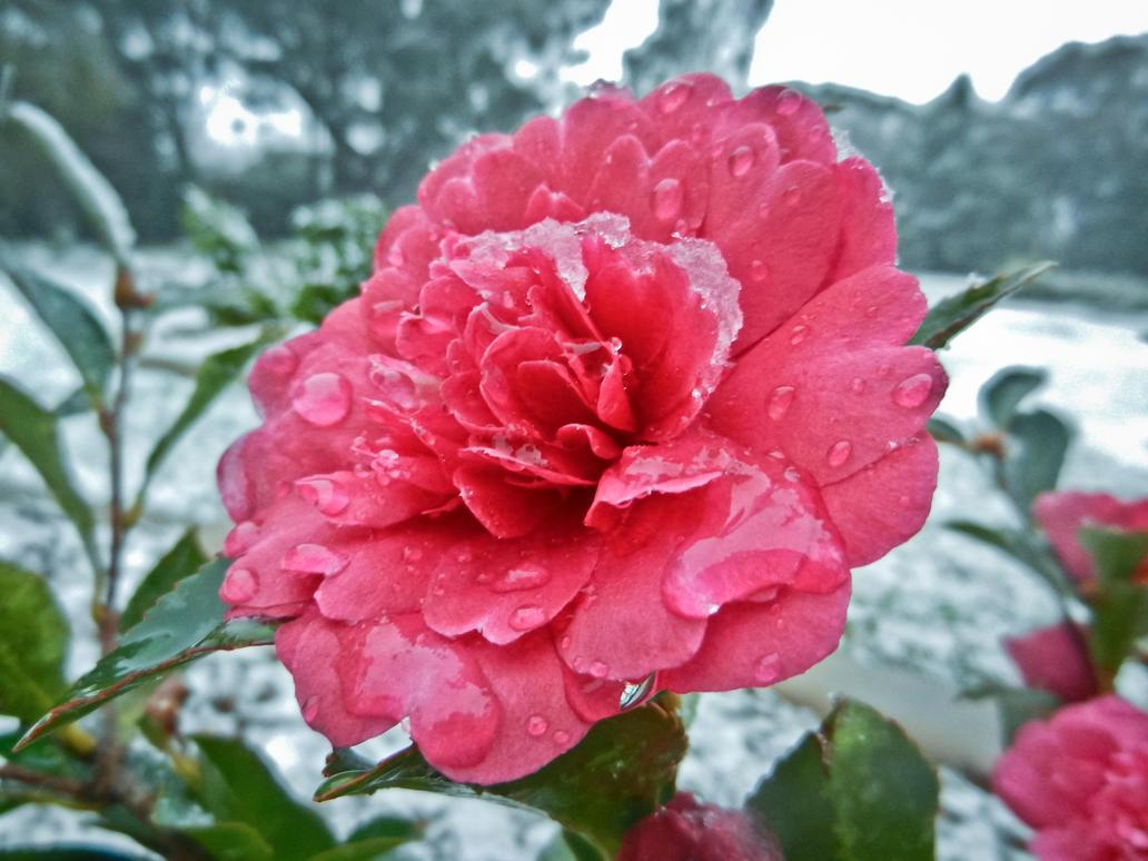 Icy Rose by SByrnes