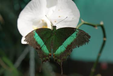 Butterfly4 by Esmeid