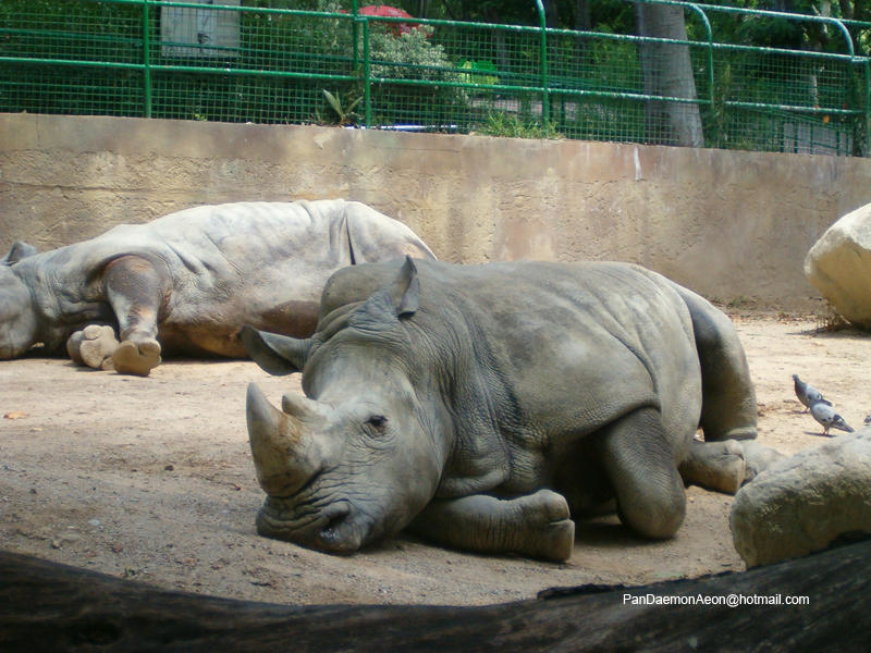 Rhinos on Pinterest