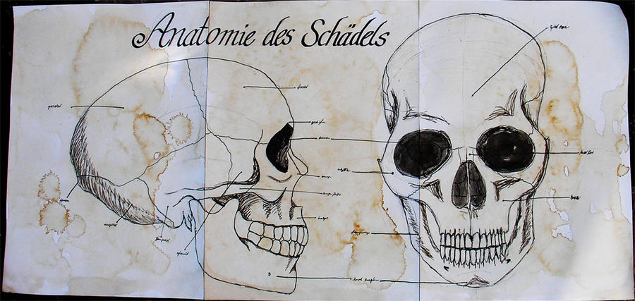 anatomy of the skull by s-talker