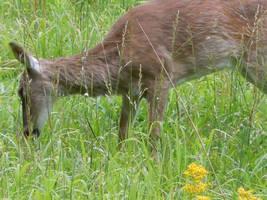 OH deer by aerinoutlander