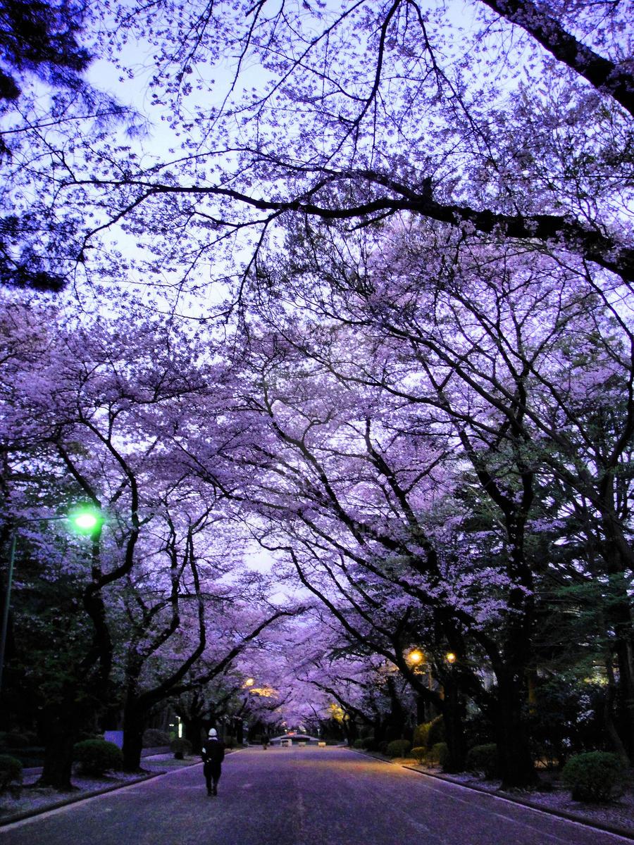 Sakura Walk by Kaoru27Umi