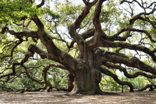 The Angel Oak Tree by Sari1man
