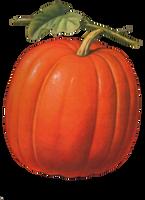 pumpkin by 1purplepixie