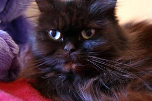 Persian cat by arualcat