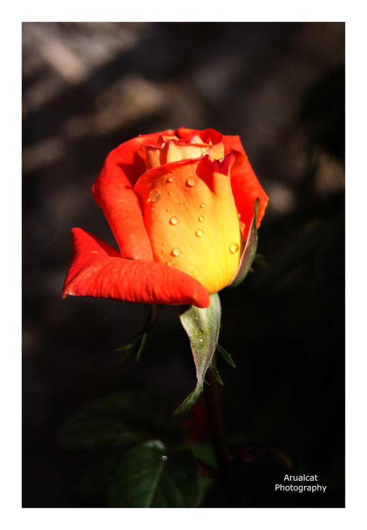 Fleur orange by arualcat