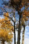 Golden Trees, Silent