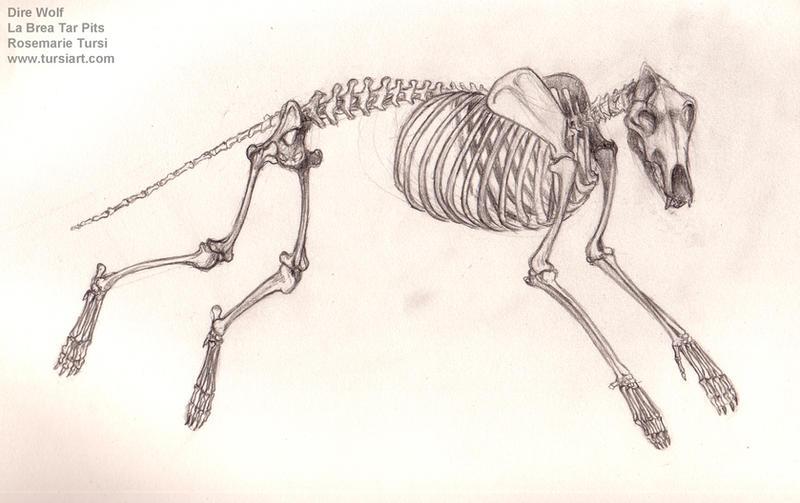 Dire Wolf Skeleton, Bone Study by tursiart on DeviantArt