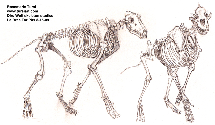 Wolf Front View Anatomy