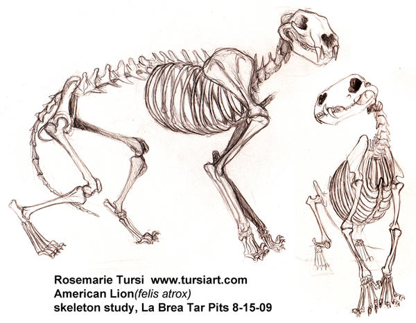 American Lion Skeleton study 1 by tursiart on DeviantArt