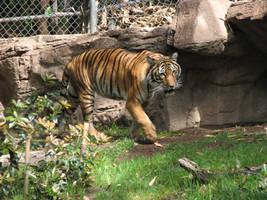 Free Tiger Stock 1