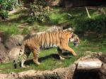 Free Tiger Stock 3