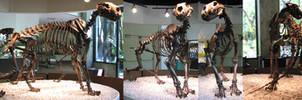 Free American Lion Skeleton Stock by tursiart