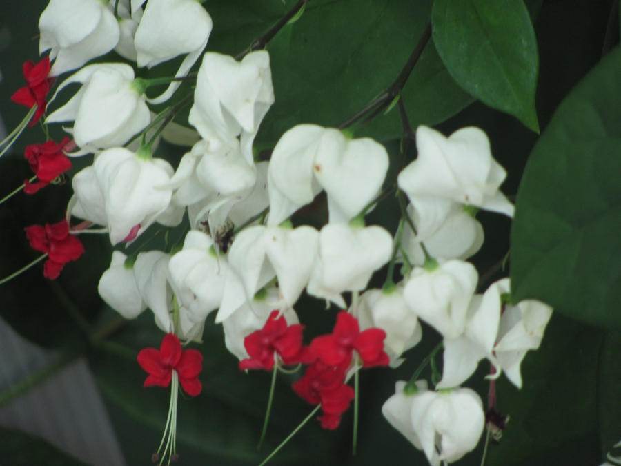 White and red flowers by jaina1818 on deviantart white and red flowers by jaina1818 mightylinksfo