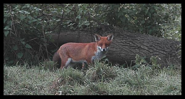 Foxy by OnVee1