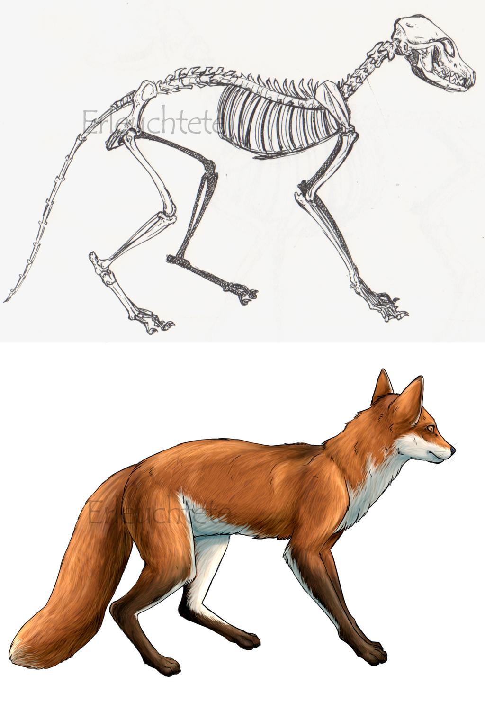 Fox Anatomy Study By Earlnoir On Deviantart