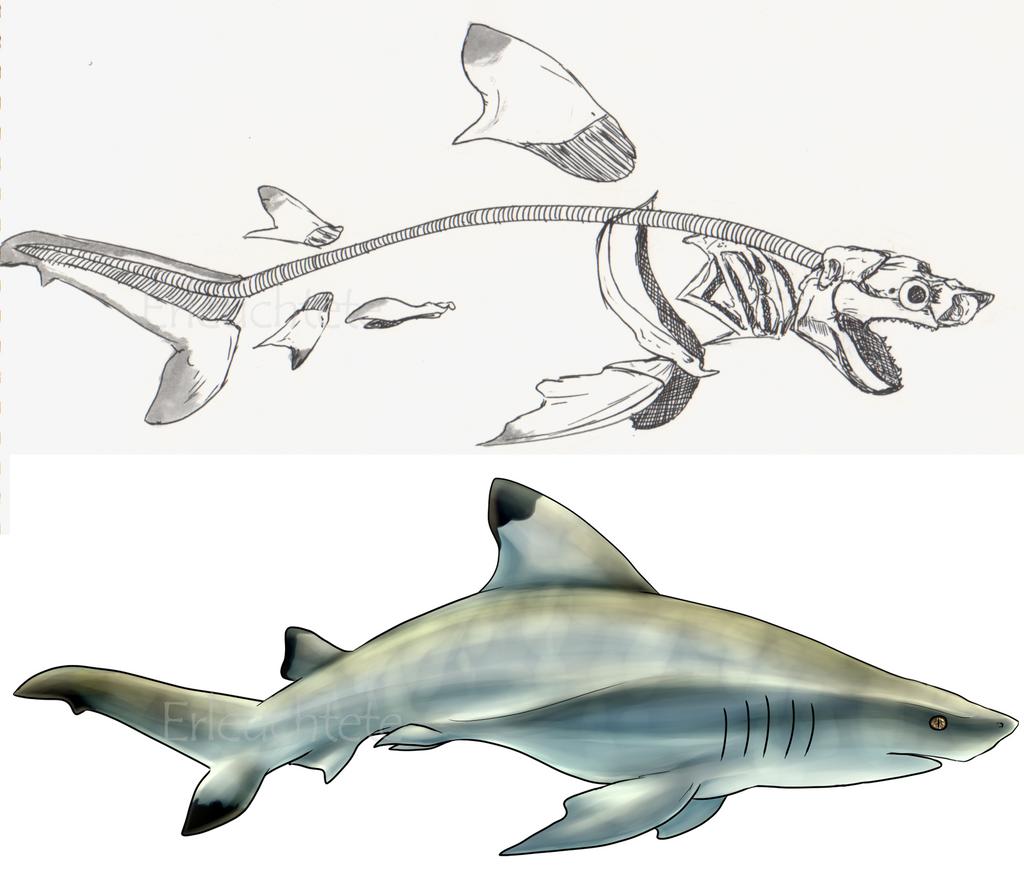 Shark anatomy study by EarlNoir on DeviantArt