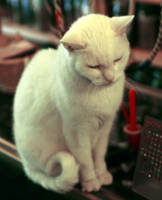 White cat by skipsstock