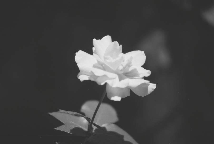 Sunny Rose by zbarama