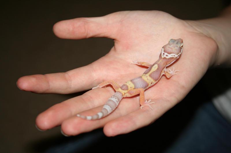 Adorable Leopard Geckos Page 243