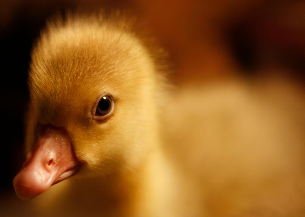 baby ducks by ChlorineDream86 on DeviantArt