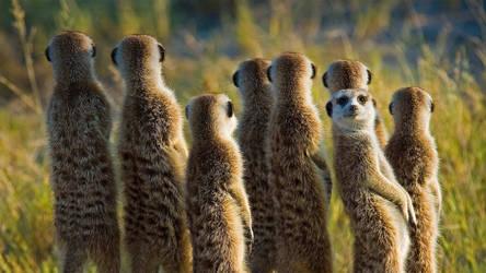 Meerkats by efabo