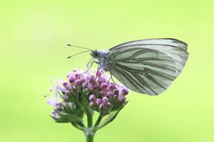 Schmetterling by FlorianHebel