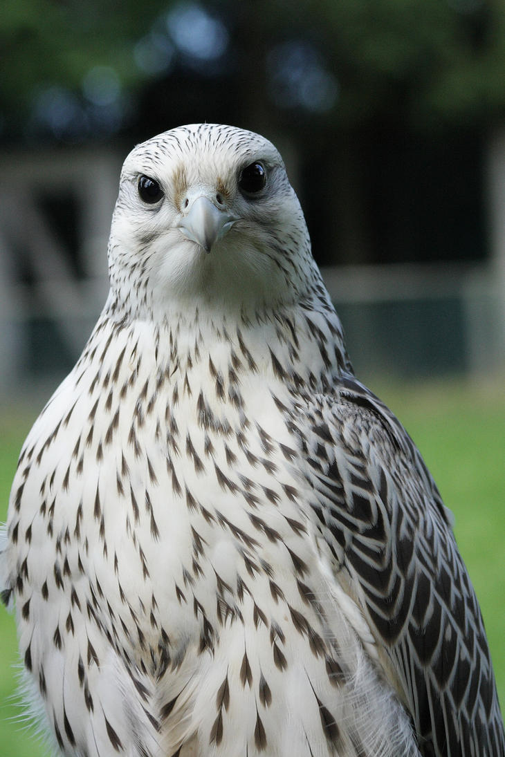 The Gyrfalcon By Florianhebel On Deviantart