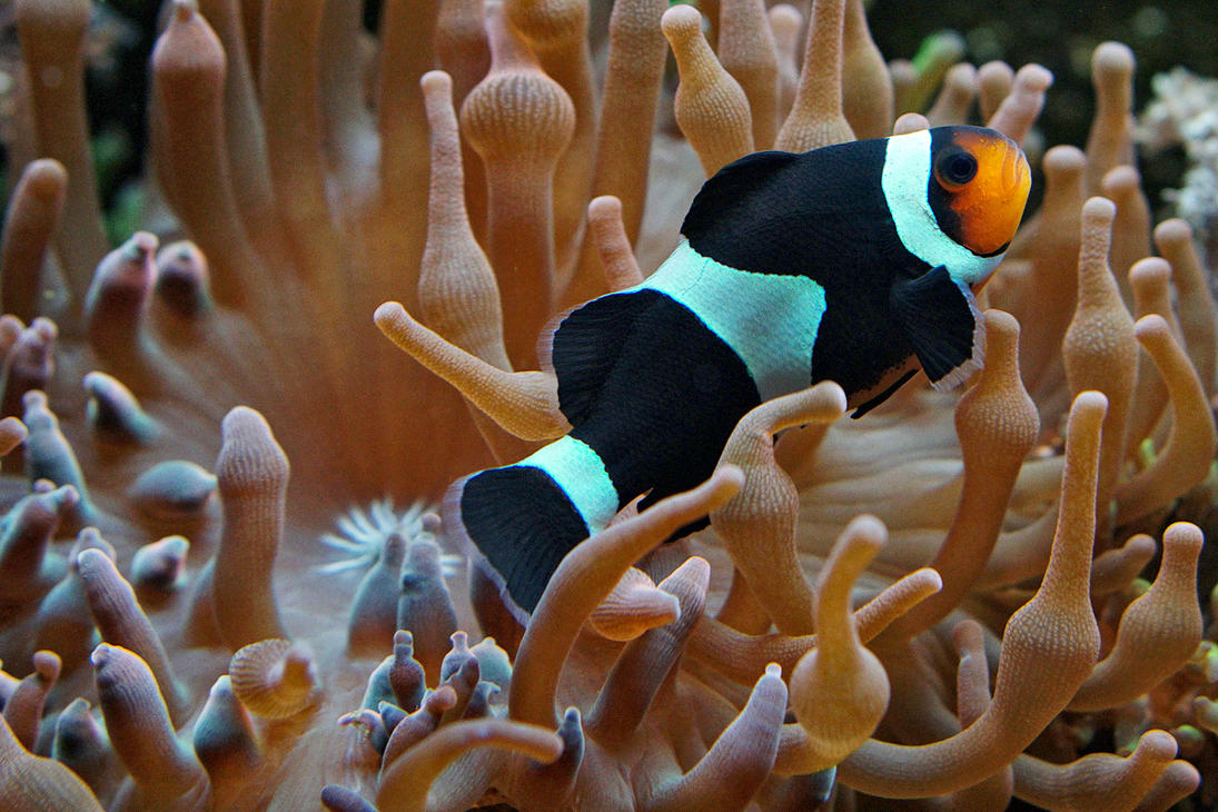 Clownfish in black by FlorianHebel