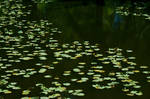 Lily pads 1
