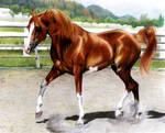 Arabian stallion finished