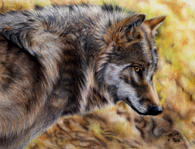 European Wolf by ManiaAdun