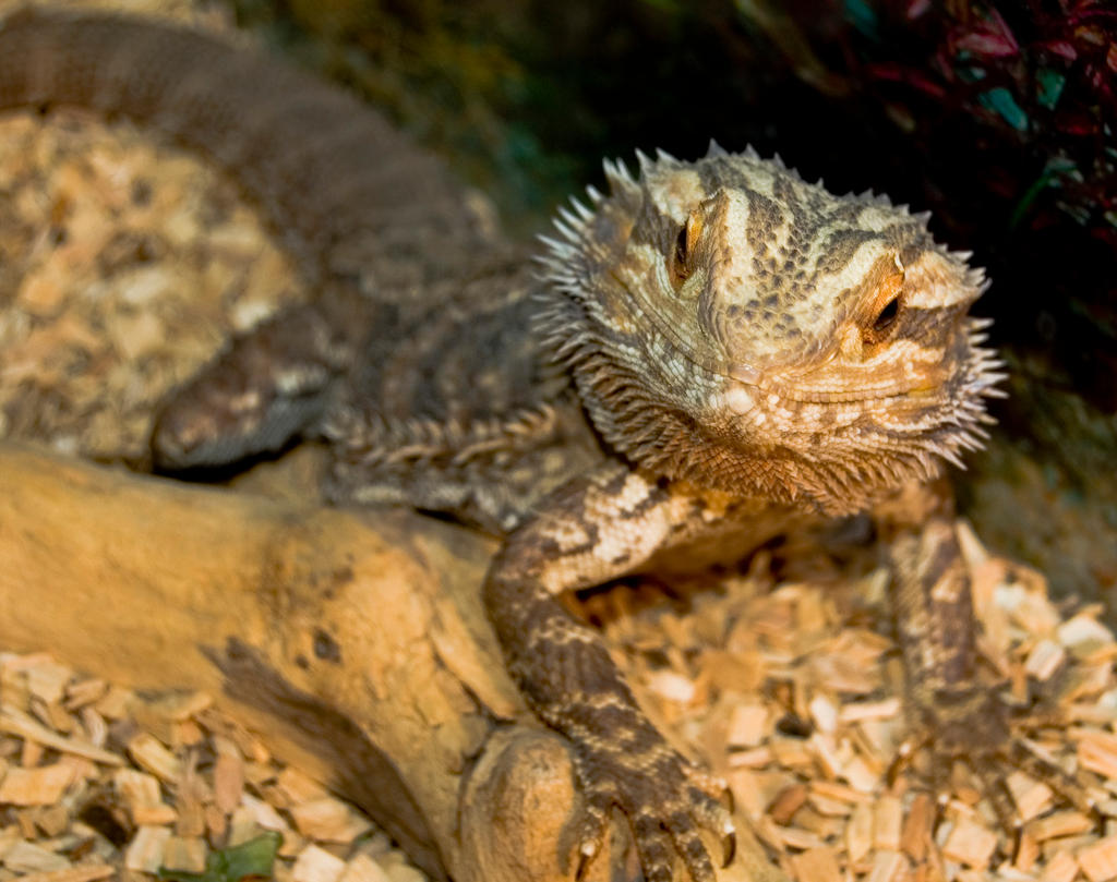 Bearded Dragon by LilPeteMordino