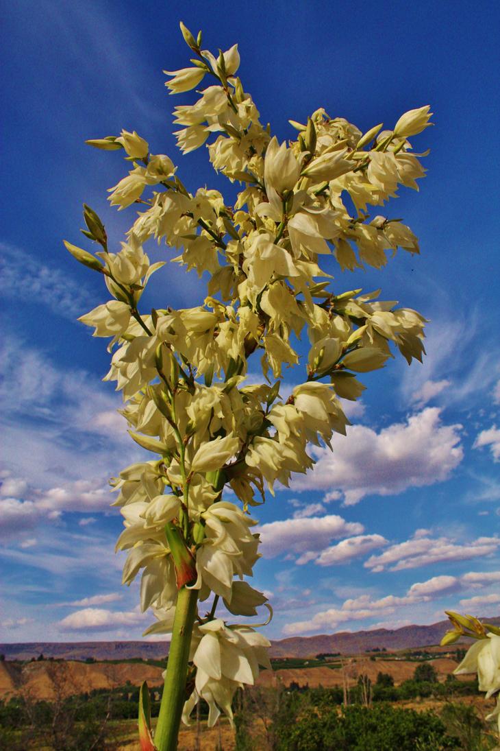 Yucca Bloosom by coldasylum