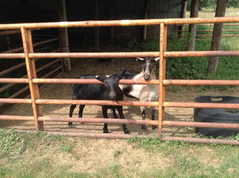 Curious Goats by TerrianJunkie